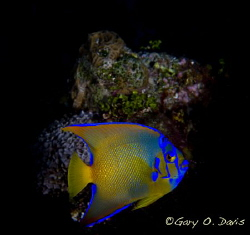 Juvenile Queen Angelfish by Gary. 0 Davis 